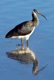 Straw-Necked Ibis Royalty Free Stock Photo