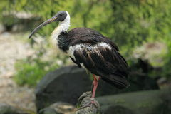Straw-necked ibis Royalty Free Stock Image