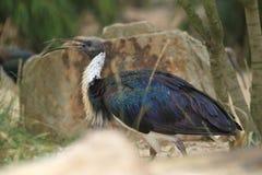 Straw-necked ibis Royalty Free Stock Photos