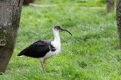 Straw-necked Ibis, Threskiornis spinicollis Stock Photos