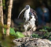 Straw-necked Ibis, Threskiornis spinicollis in the zoo stock photo