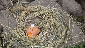 Straw nest hen egg break Royalty Free Stock Image