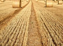 Straw pressed in round bales on a corn field in autumn stock images