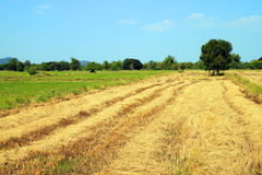 Straw product from rice field Royalty Free Stock Images