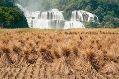 Straw in rice field front of Datian waterfall in China. Stock Photo