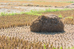 Straw rice fields after harvest Stock Image