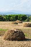 Straw rice fields after harvest Royalty Free Stock Photo