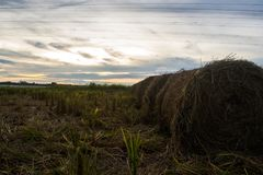 Straw rolls in paddy harvesting season. Paddy straws are collected by farmers to be fed to livestock as alternative food source stock image