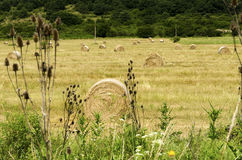 Straw round bales in a field during the summer harvest in the countryside. Straw round bales in a field during the summer harvest royalty free stock photography