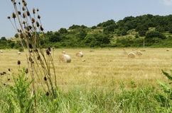 Straw round bales in a field during the summer harvest and a stork in the countryside. Straw round bales in a field during the summer harvest and a stork royalty free stock images
