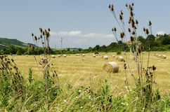 Straw round bales in a field during the summer harvest and thistle and grass. Straw round bales in a field during the summer harvest and thistle stock photography