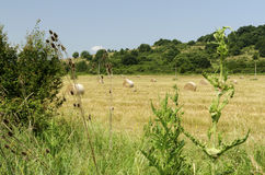 Straw round bales in a field during the summer harvest and thistle and a stork. Straw round bales in a field during the summer harvest and thistle Stock Image