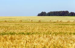 Wheat ears. Straw stacks lying on the soil during the harvest of cereals. blue sky Royalty Free Stock Photo
