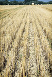 Straw stubble on the field Stock Photos