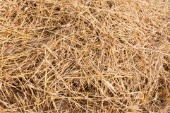 Straw on the stubblefield. Close-up of remaining straw on the field immediately after the combine harvesting of the wheat stock photo