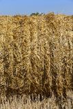 Straw texture background, close up. Stack with a straw straw-linked blue string in a haystack. Harvesting rye in the summer. The straw is illuminated by the royalty free stock photo