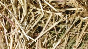 Straw texture. In the garden stock footage