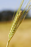 Straw of wheat Stock Image