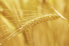 Straw of wheat Stock Photo