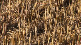 Straw on wheat field after combine harvesting Stock Image