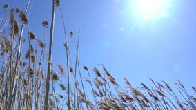 Straw in the wind and sun. Straw in the wind in the background of sky and sun stock video