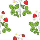 Strawbbery ανθών με τα ώριμα φρούτα και τα λουλούδια στο άσπρο υπόβαθρο r διανυσματική απεικόνιση