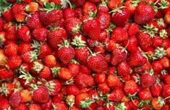 Strawberies mucho maduros Imagen de archivo libre de regalías
