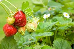 Strawberries. Stock Photography