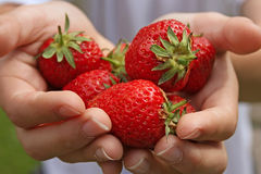 Strawberries. Hands holding freshly picked ripe strawberries royalty free stock photos