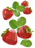 Strawberries. Illustration of realistic strawberries with leaves isolated on white Royalty Free Stock Photo