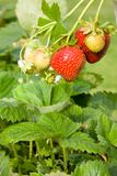 Strawberries. Stock Images