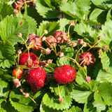 Strawberries. Green bush of red strawberry stock photos