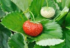 Strawberries. Fresh strawberries  on green leaf Stock Photography
