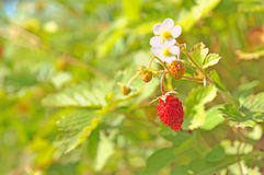 Strawberries. Royalty Free Stock Photography