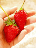 Strawberries. Two fresh strawberries on one hand Stock Photos