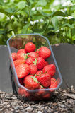Strawberries. Freshly picked strawberries on the field stock images