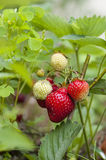 Strawberries. Strawberry plant in a strawberry field royalty free stock photos