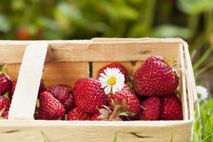 Strawberries. Freshly picked strawberries in a basket stock images