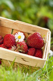 Strawberries. Freshly picked strawberries in a basket stock photo