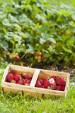 Strawberries. Freshly picked strawberries in a basket stock image