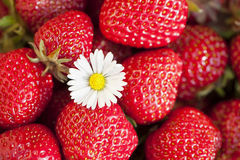 Strawberries. Freshly picked strawberries with daisy flower stock photo