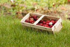 Strawberries. Freshly picked strawberries in a basket stock photography