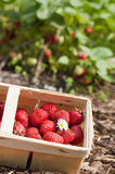 Strawberries. Freshly picked strawberries in a basket royalty free stock photos