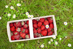 Strawberries. Freshly picked strawberries in a basket royalty free stock images