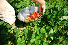 Strawberries. Picking strawberries. Fresh Summer fruits Royalty Free Stock Photography