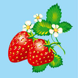 Strawberries. With flowers and leaves, vector illustration Royalty Free Stock Images