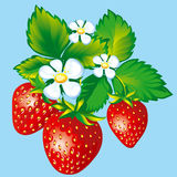 Strawberries. With flowers and leaves, vector illustration Royalty Free Stock Photos