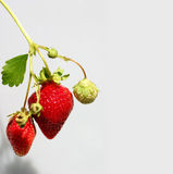 Strawberries. Off a vine at a farm Royalty Free Stock Photo