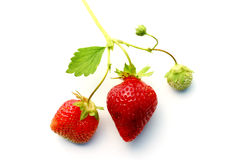 Strawberries. Off a vine at a farm Stock Photo