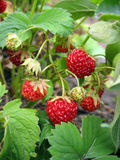 Strawberries against green leaves royalty free stock images